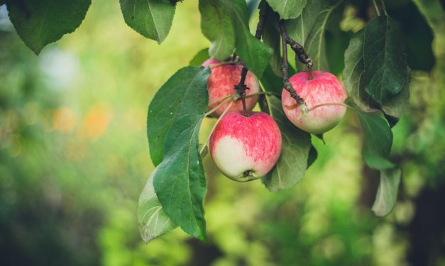 Eat apples to keep cholesterol in check