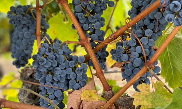 Compound in grapes reverses brain ageing